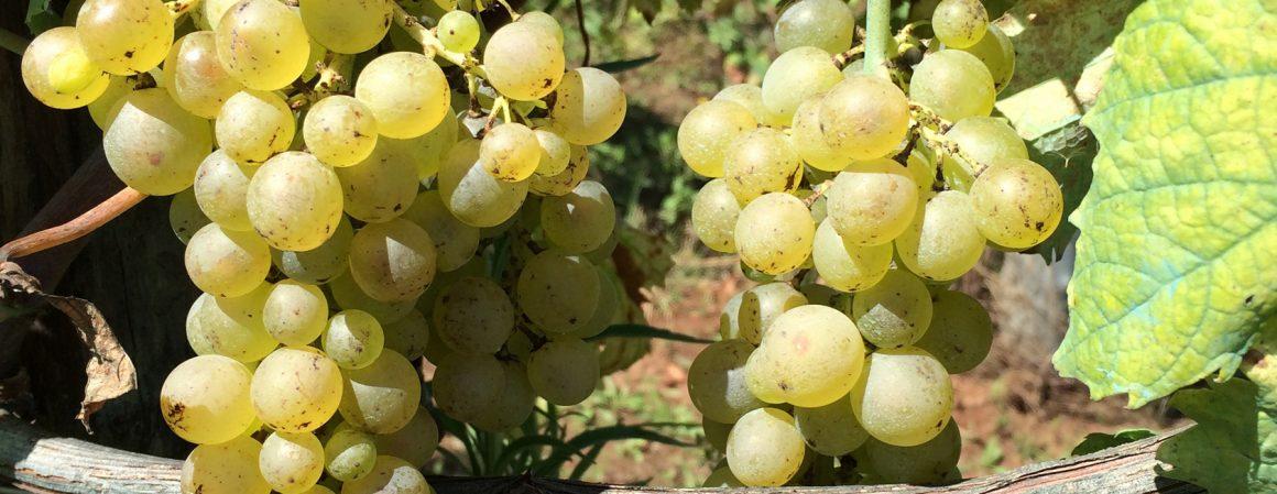 Un'azienda che realizza eccellenti vini biologici Igp